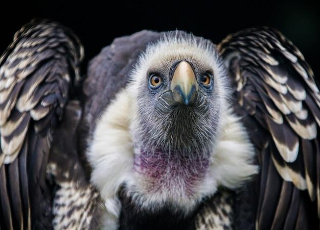 Foto aproximada de um abutre-grifo na frente de um fundo preto