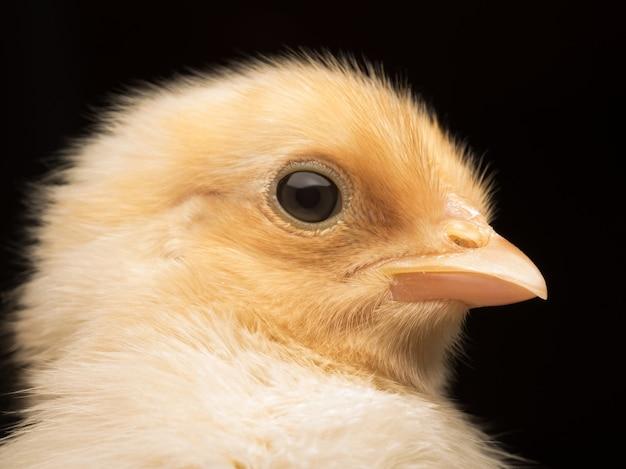 Foto aproximada de um adorável frango bebê isolado