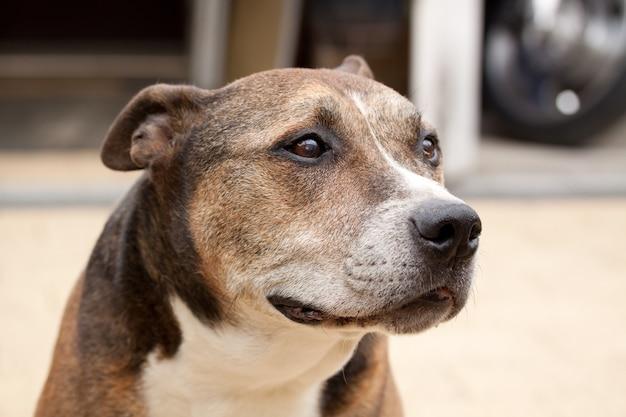 Foto aproximada de um american staffordshire terrier