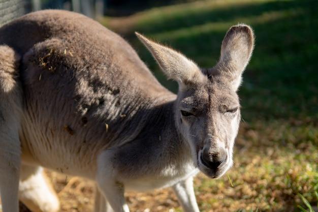 Foto aproximada de um canguru olhando