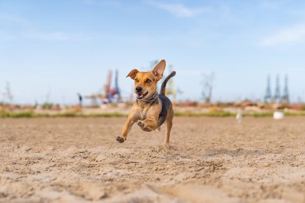 Foto aproximada de um cão de companhia correndo na areia