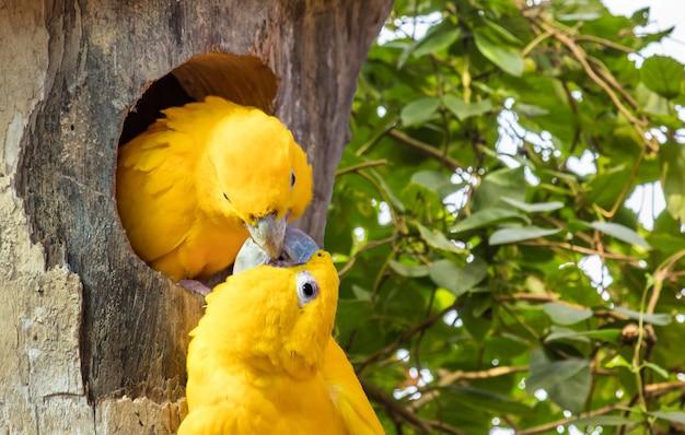 Foto aproximada de um casal de periquitos dourados em uma árvore