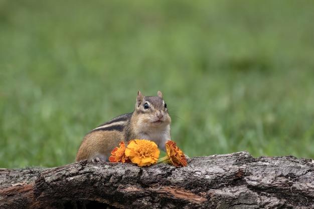 Foto aproximada de um esquilo escondido atrás de um pedaço de madeira