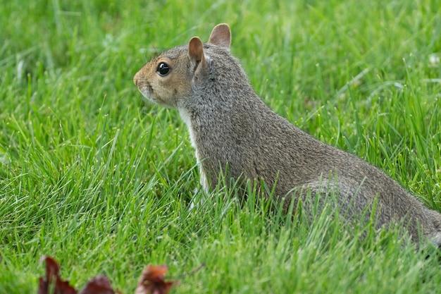 Foto aproximada de um esquilo no parque na grama