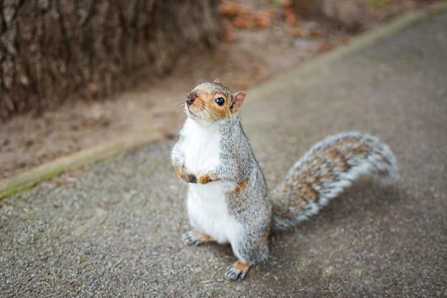 Foto aproximada de um esquilo raposa