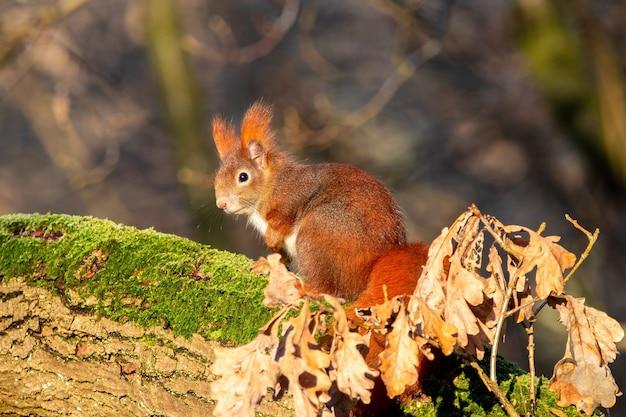 Foto aproximada de um esquilo sentado em um pedaço de madeira