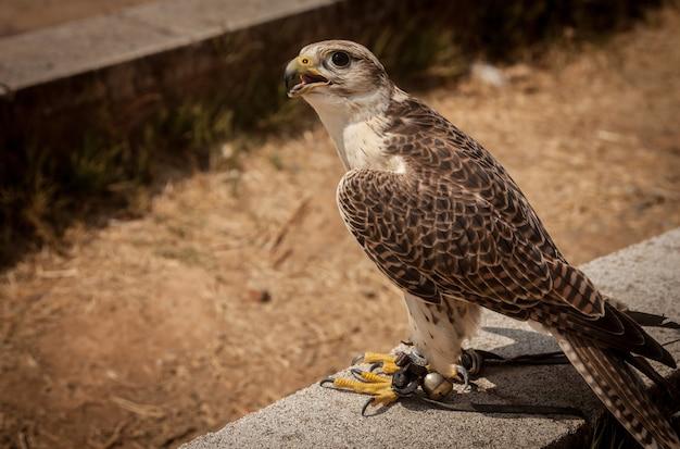 Foto aproximada de um falcão-saker empoleirado em uma pedra