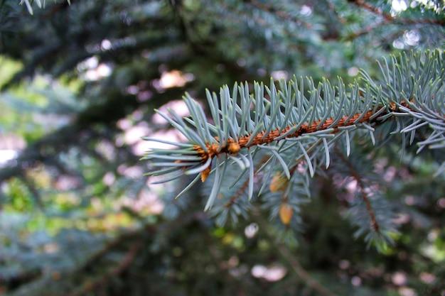 Foto aproximada de um galho de pinheiro