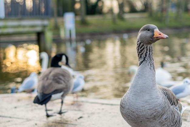 Foto aproximada de um ganso cinzento em uma doca