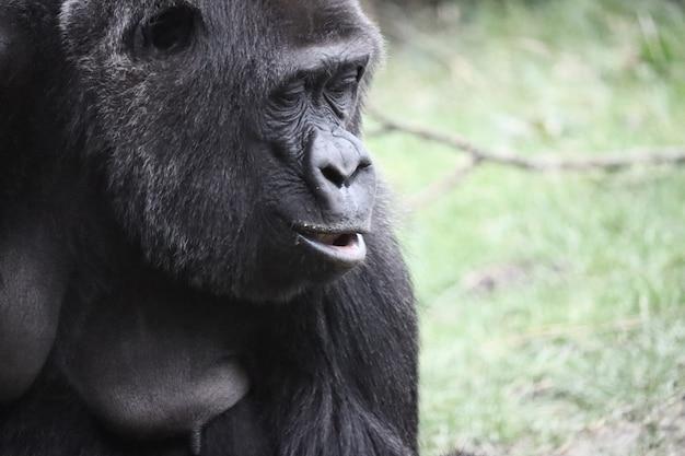 Foto aproximada de um gorila