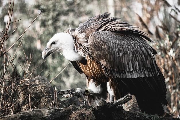 Foto aproximada de um jovem abutre empoleirado em uma árvore com uma etiqueta amarela no pé