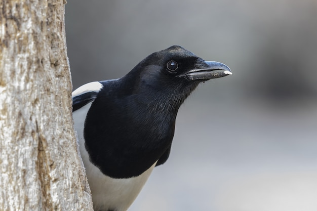 Foto aproximada de um pássaro pega-preto