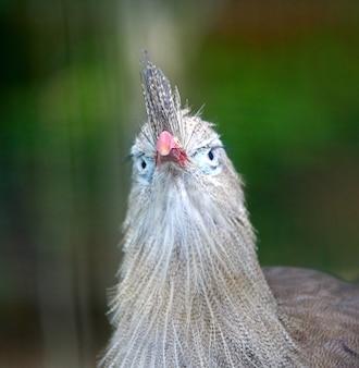 Foto aproximada de um pássaro seriema na vegetação desfocada