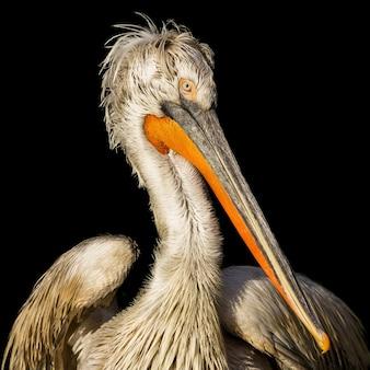 Foto aproximada de um pelicano dálmata na frente de um negro