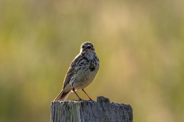Foto aproximada de um pequeno pássaro sentado em um pedaço de madeira seca atrás de um gramado