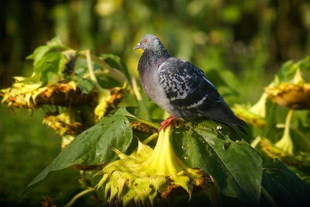 Foto aproximada de um pombo empoleirado em girassóis secos
