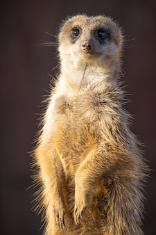 Foto aproximada de um suricato alerta observando no deserto