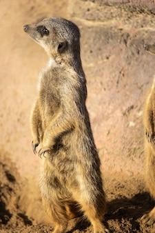 Foto aproximada de um suricato curioso em pé na areia do deserto