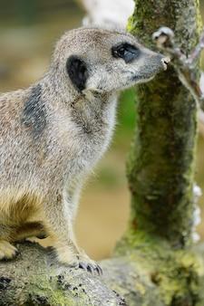 Foto aproximada de um suricato sentado em um galho de madeira
