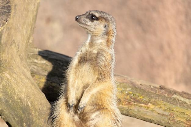 Foto aproximada de um suricato sentado em um tronco