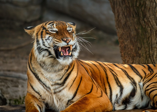 Foto aproximada de um tigre malaio