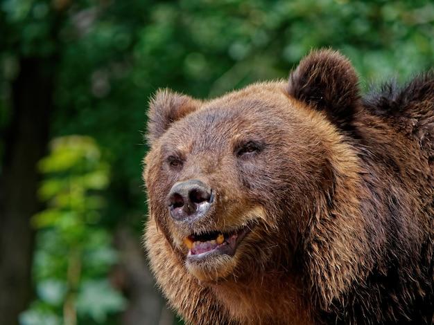 Foto aproximada de um urso-pardo na floresta