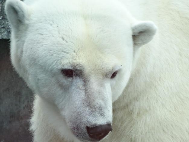 Foto aproximada de um urso polar