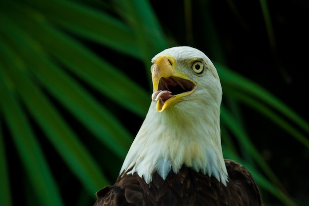 Foto aproximada de uma águia careca americana com o bico aberto