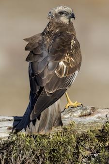 Foto aproximada de uma águia dourada empoleirada na madeira