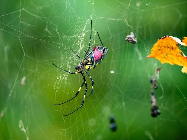 Foto aproximada de uma aranha joro com o dorso rosa em um parque florestal japonês