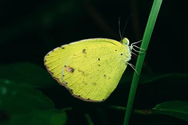 Foto aproximada de uma borboleta amarela