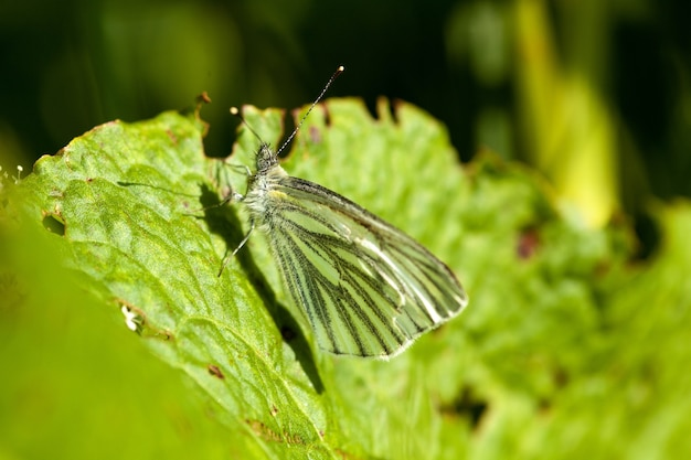 Foto aproximada de uma borboleta branca com veias pretas repousando sobre uma folha