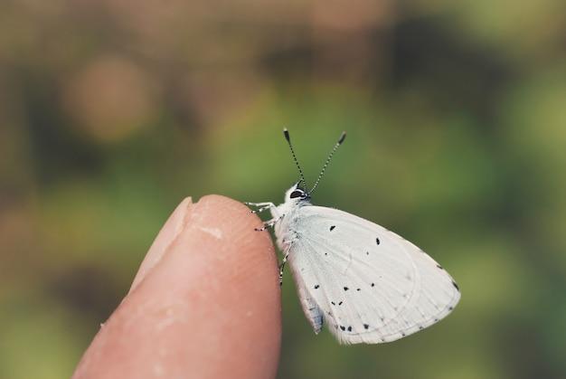 Foto aproximada de uma borboleta branca em um dedo