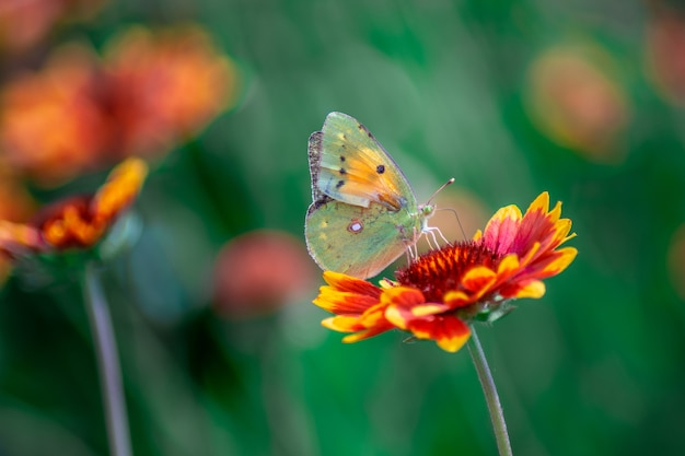 Foto aproximada de uma borboleta em uma linda flor vermelha desfocada