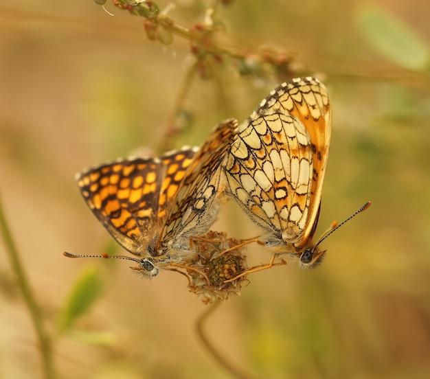 Foto aproximada de uma borboleta fritilar provençal