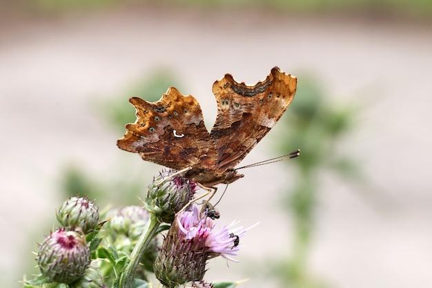 Foto aproximada de uma borboleta marrom em cima de uma flor