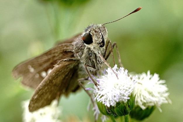 Foto aproximada de uma borboleta marrom sentada em uma flor branca