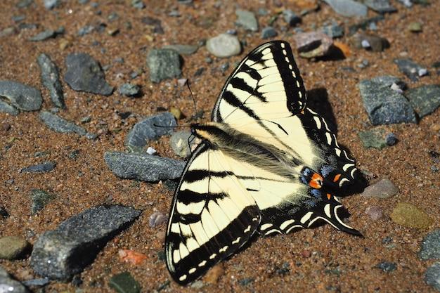 Foto aproximada de uma borboleta papilio machaon