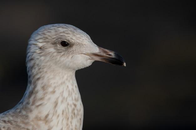 Foto aproximada de uma cabeça de gaivota isolada no preto