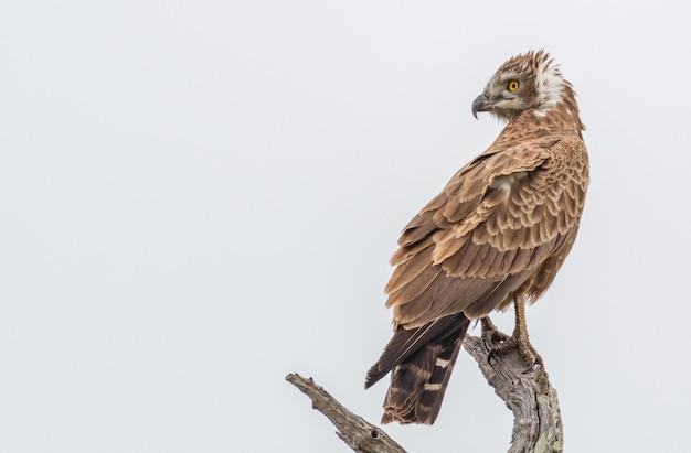 Foto aproximada de uma cobra-águia beaudouin em pé na madeira à luz do dia