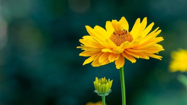 Foto aproximada de uma flor amarela da gaillardia