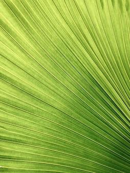 Foto aproximada de uma folha de palmeira de cor verde-amarelo