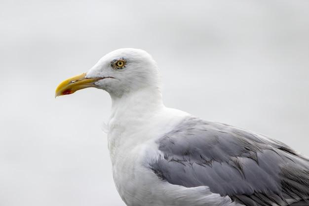 Foto aproximada de uma gaivota-arenque à beira-mar