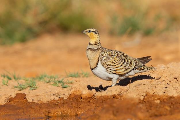 Foto aproximada de uma galinhola-de-cauda-agulha em um ambiente árido