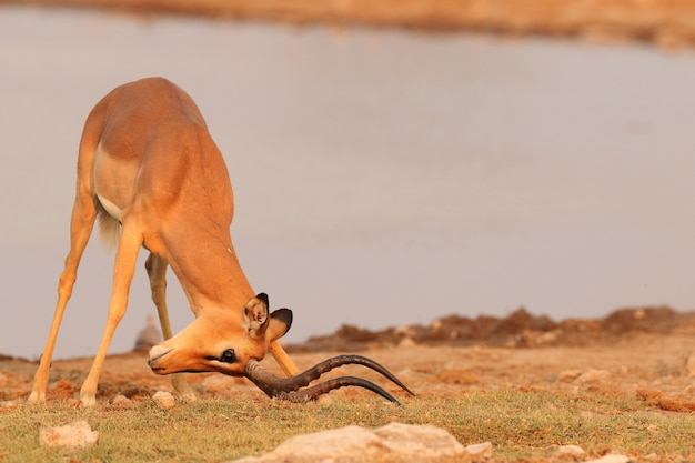 Foto aproximada de uma gazela com a cabeça no chão ao lado de um rio largo na namíbia