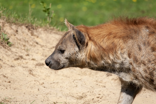 Foto aproximada de uma hiena no deserto sob a luz do sol