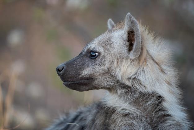 Foto aproximada de uma hiena pintada com um fundo desfocado