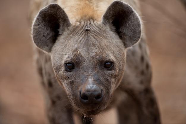 Foto aproximada de uma hiena-pintada