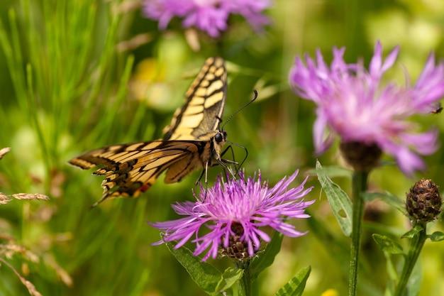 Foto aproximada de uma linda borboleta machaon papílio colhendo néctar da flor