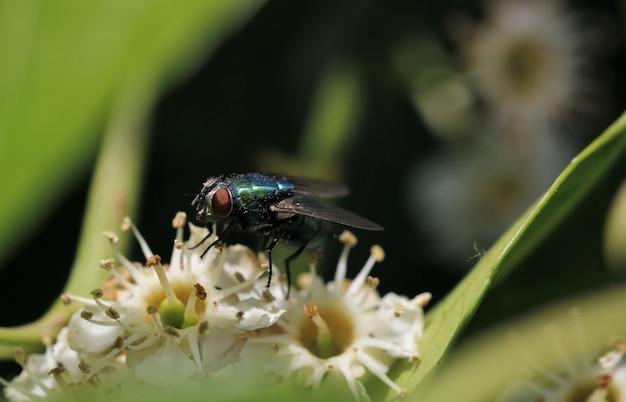 Foto aproximada de uma mosca em flores